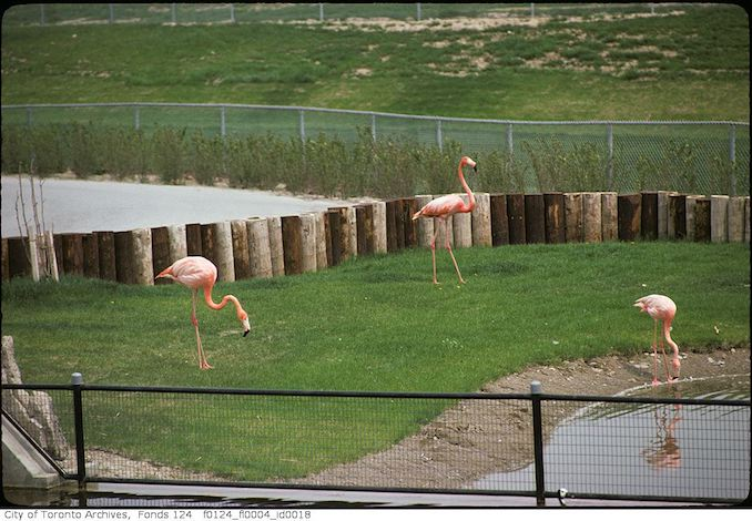 1975 - May - Flamingo, Metro Toronto Zoo