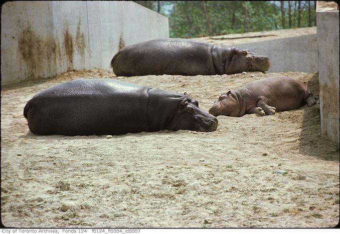 1975 - May - Hippopotami, Metro Toronto Zoo