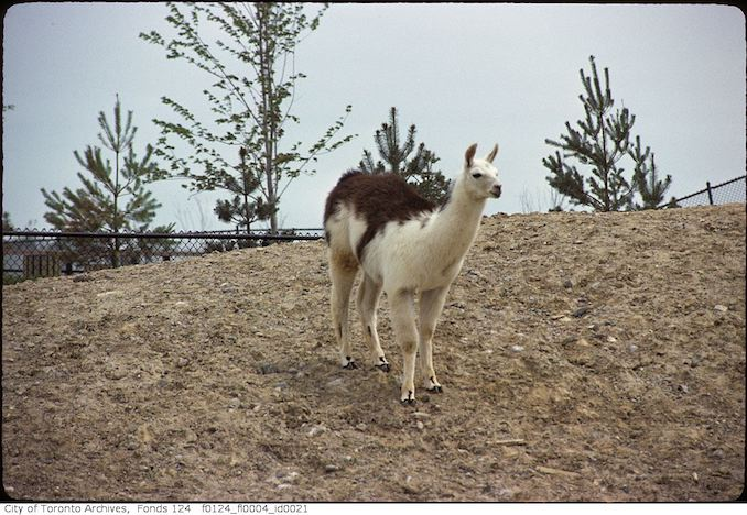 1975 - May - Llama, Metro Toronto Zoo