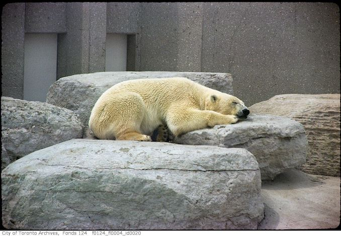 1975 - May - Polar bear, Metro Toronto Zoo