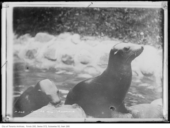 1914 - January 22 - Riverdale Zoo Seals