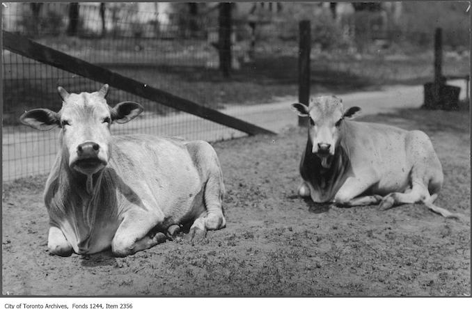 1919 - Yaks at Riverdale Zoo