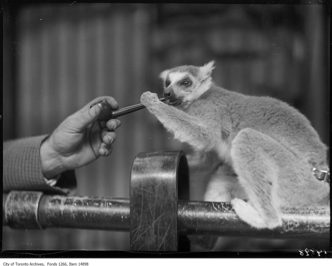 1928 - September 17 - Riverdale Zoo, lemur with pipe