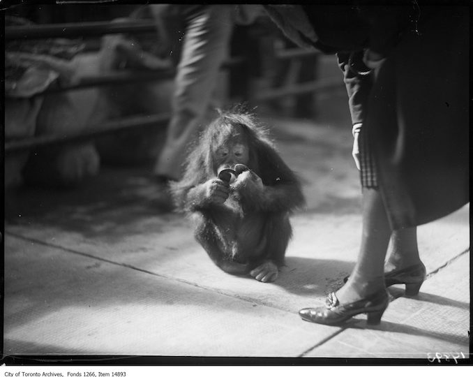 1928 - September 17 - Riverdale Zoo, orangutan with mirror