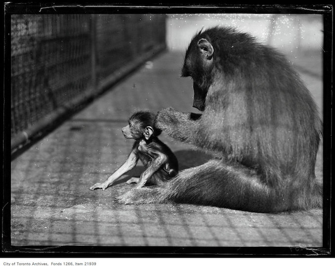 1930 - September 12 - Riverdale Zoo, baboon and baby