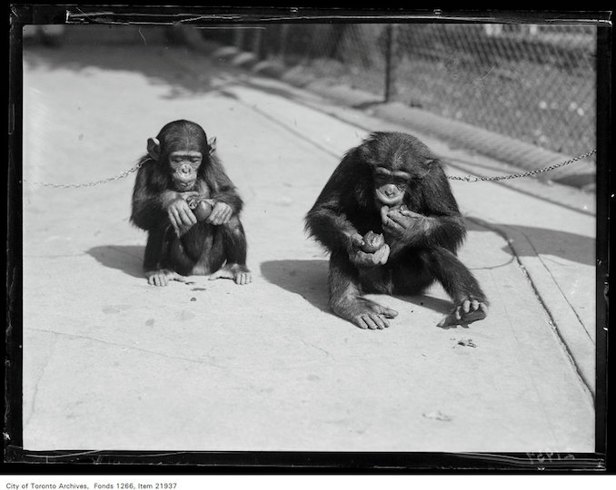 1930 - September 12 - Riverdale Zoo, chimpanzee Josephine and Geordie