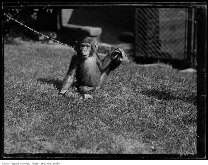 1930 - September 12 - Riverdale Zoo, chimpanzee Josephine