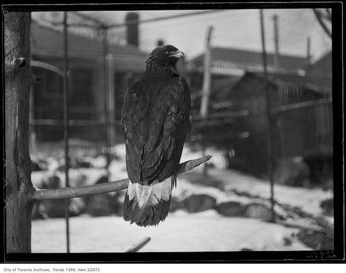 1931 - January 28 - Riverdale Zoo, Golden Eagle