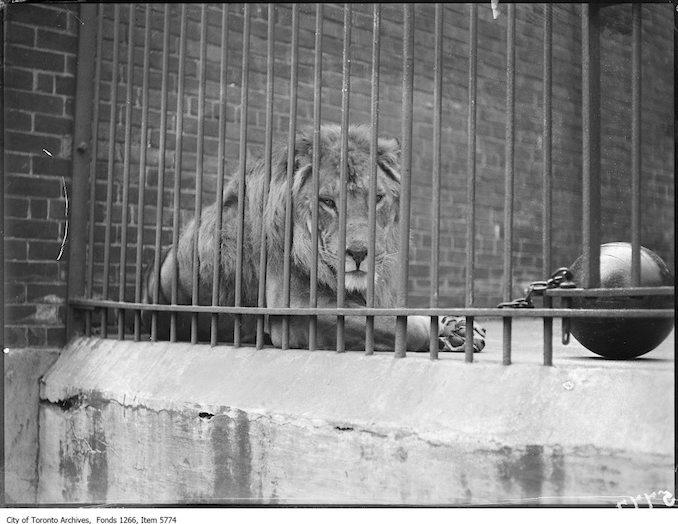 1925 - July 5 - Riverdale zoo, lion