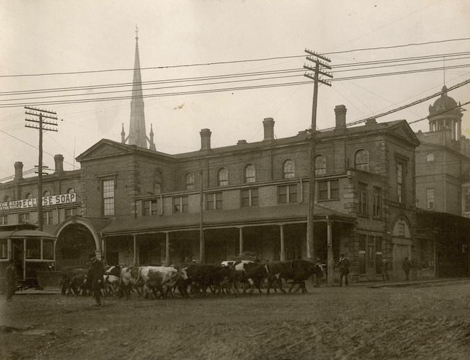 1898 - herding bulls to market