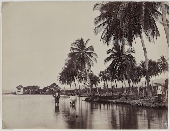 Coconut Palms, Kingston Harbour