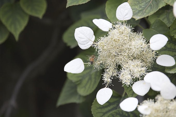 David Brown - We live in the middle of the largest city in Canada, but our backyard in a quiet oasis that has been an endless source of inspiration and restoration.  I have planted many perennial vines, decorative grasses, and shrubs which create an ocean of lush green textures.  Shown in this photos is a bee collecting pollen from my climbing hydrangea.  The creamy white flowers have an intoxicating fragrance and every spring the flowers buzz loudly as the bees work diligently.