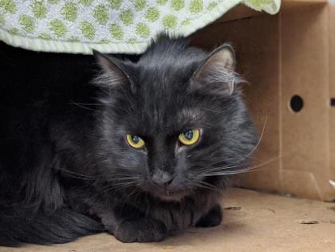 Metro the cat is looking for a new family in the Toronto area
