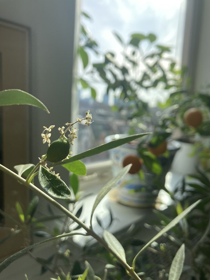 Growing olives and clementines in my studio during the winter.